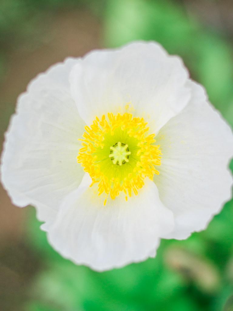 White Poppy in Showa Kinen Park