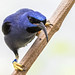Go ahead. Make my day. - Purple Honeycreeper (Cyanerpes caeruleus) - Hummingbird House - San Diego Zoo by Jim Frazee