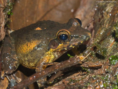 Amboli Leaping frog