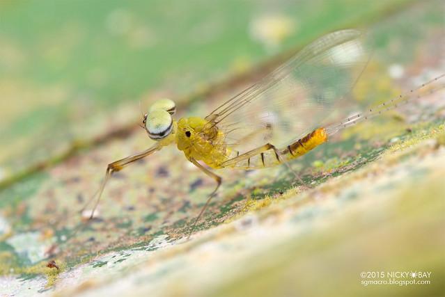 Mayfly (Ephemeroptera) - DSC_4815