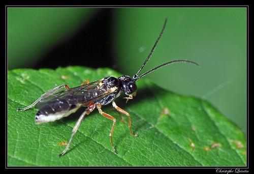Ichneumonidae/Tryphoninae/Exenterini