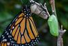 Monarch by Canon Camera