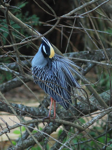 Yellow-crowned Night-Heron preening 20150311