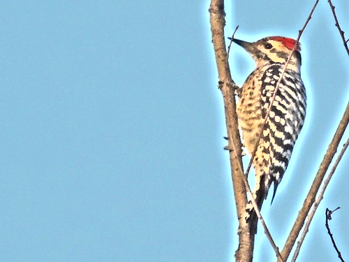 Woodpecker of Brown County Texas
