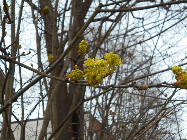Vapputunnelmia Hämeenlinnassa 1.5.2015; alkanutta metsävaahteran (Acer platanoides) kukintaa