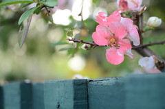 Pink and fence