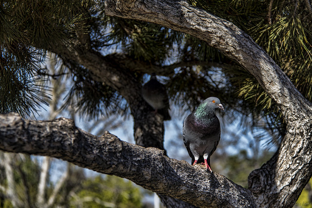Pigeons at Wilderness Park