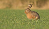 Relaxing Brown Hare