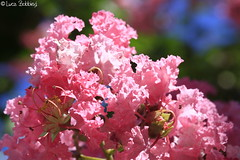 Pink Blossolms
