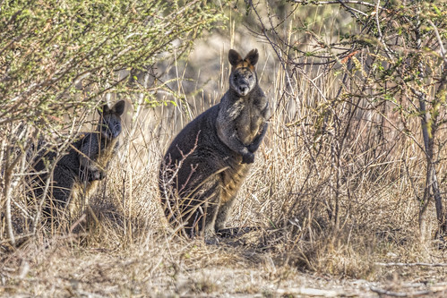 Woodlands Wallabies 2015-04-03 (_MG_2535)