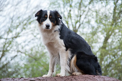 border collie, dog breed, animal, dog, pet, mammal, miniature australian shepherd, australian shepherd, english shepherd,