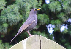Lady blackbird?