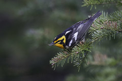 Blackburnian Warbler Catching Insect