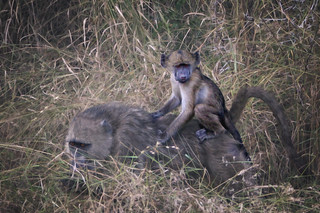baby baboon on mums back while she forages