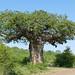 Small photo of Von Wielligh's Baobab (Adansonia digitata)
