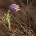 Prairie Crocus by speech path girl