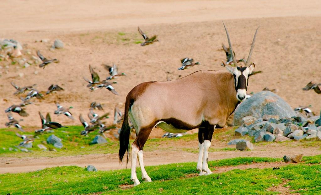 Fringe-eared Oryx (Oryx beisa callotis)