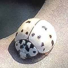 Has anyone seen a ladybug like this Texas ladybug? #ladybugs