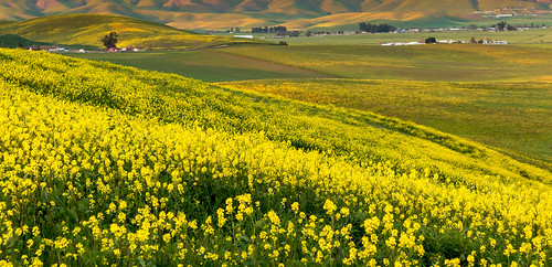 california ca mountains yellow us spring hills bayarea fields mustard livermore