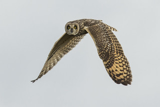 Short-eared Owl (Mocho-dos-banhados) 2
