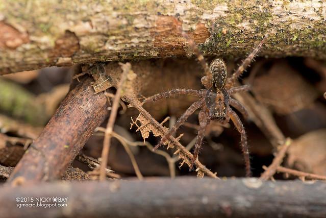 Wolf spider (Lycosidae) - DSC_5234