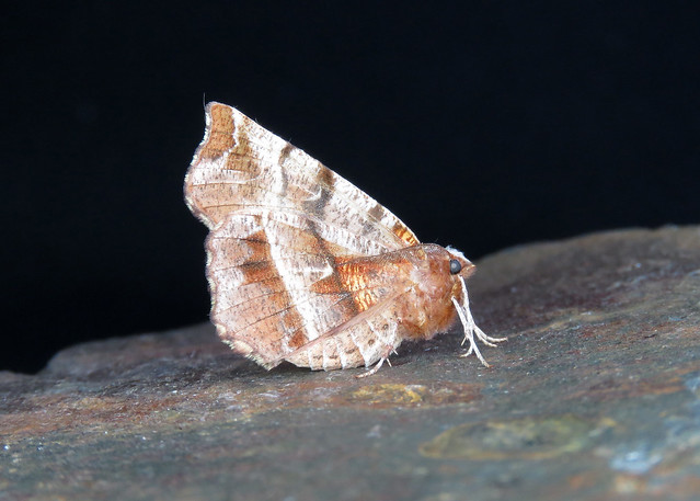 70.237 Early Thorn - Selenia dentaria