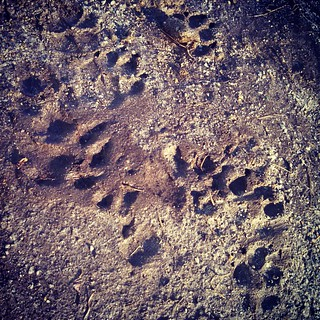 Mud season has begun... ugh #dogpaw #mud #spring #dogstagram #instadog #dogsofinstagram