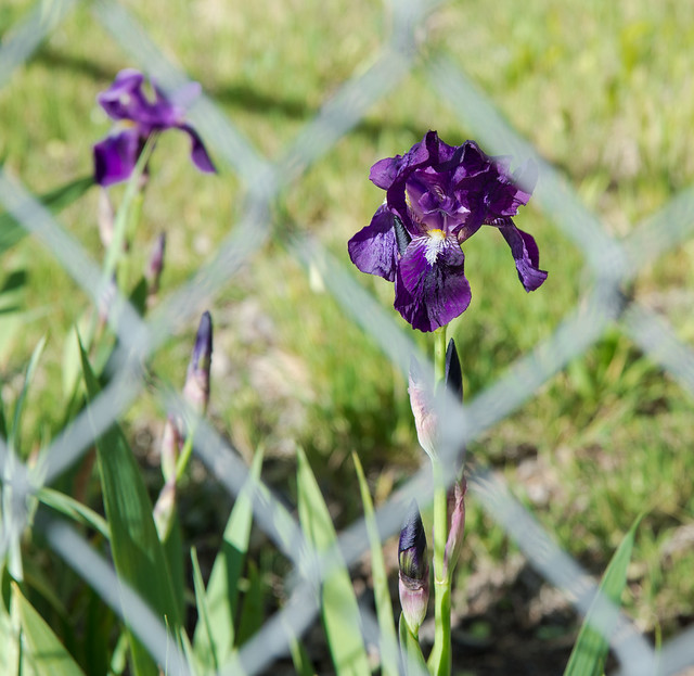 Flower on the Other Side of Fence