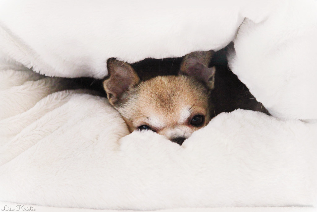 chihuahua dog sleeping bag cocoon bed