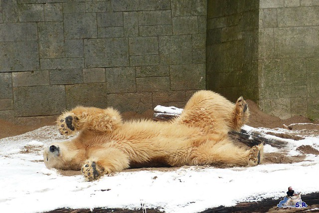 Eisbär Taufe Fiete Zoo Rostock 31.03.21015 38