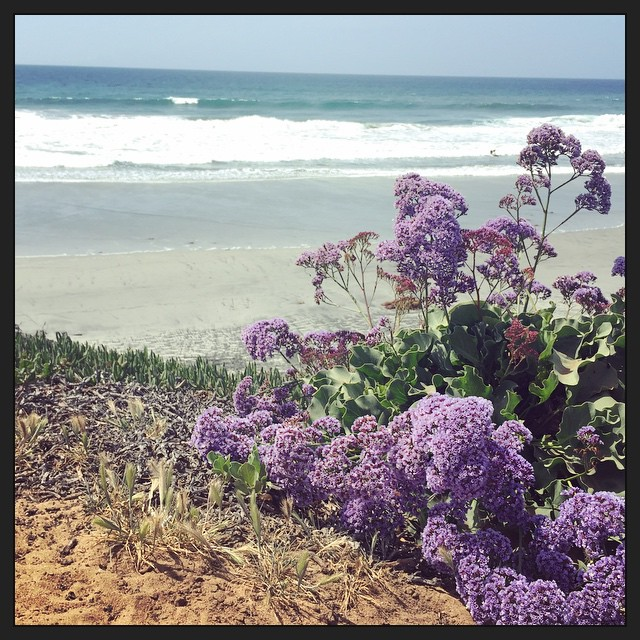 One last beach-y photo now that I've landed in rainy (but warm!) Tennessee. Had to pull over for these flowers next to the beach. #taralovesadventure