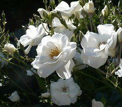 shrub, flower, plant, gardenia, petal,