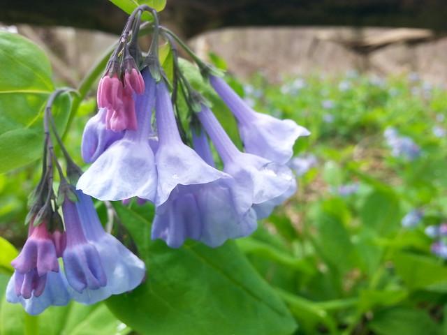 Bluebells, mertensia virginica