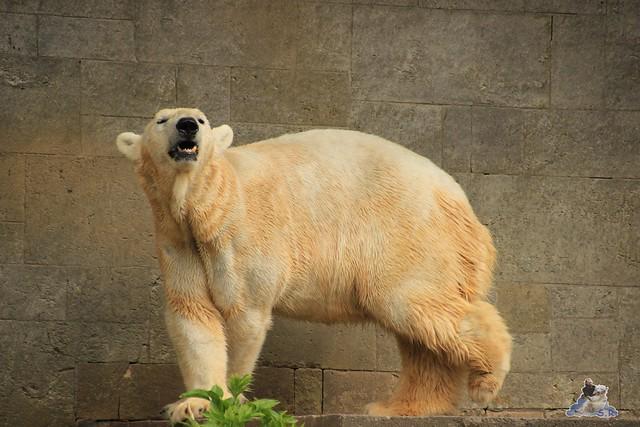Eisbär Fiete im Zoo Rostock 04.05.2015 129