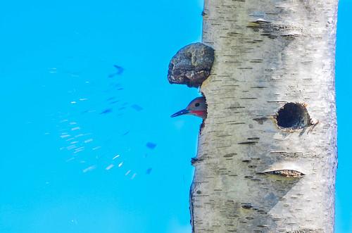 <p><i>Colaptes auratus</i>, Picidae<br /> Blackie Spit, Surrey, British Columbia, Canada<br /> Nikon D5100, 70-300 mm f/4.5-5.6<br /> April 19, 2015</p>