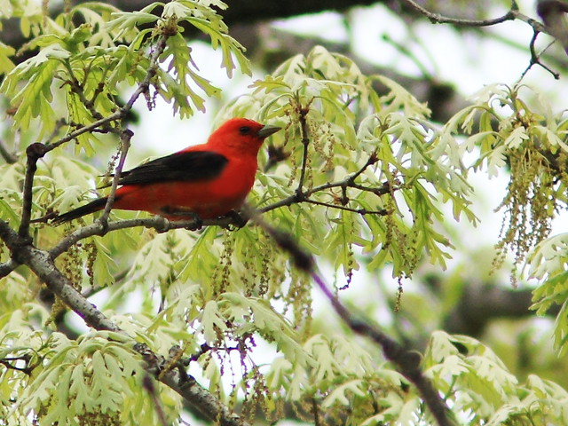 Scarlet Tanager edit 20150514