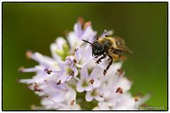 Small Bee on Hebe