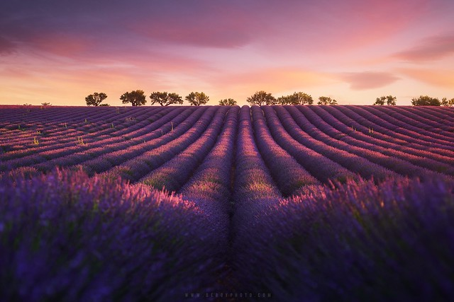 Lavender fields in Provence (Valensole, France)