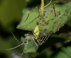 Male - Female coupling (Peucetia viridans)