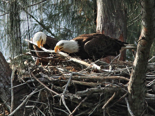 Bald Eagles arrange sticks 3-20150312