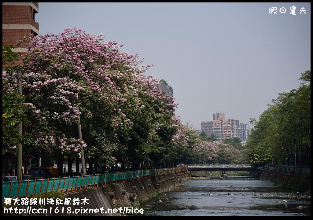 興大路綠川洋紅風鈴木DSC_2339