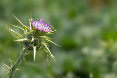 Purple Thistle Blossom Against Green Foilage