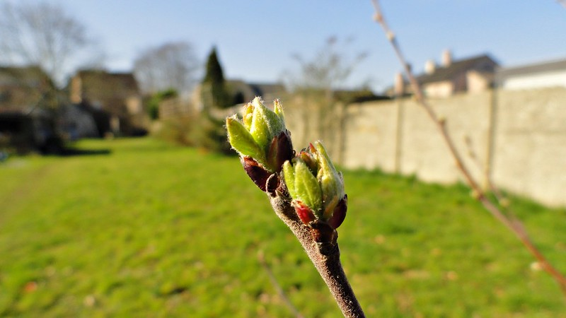 First signs of apple blossom