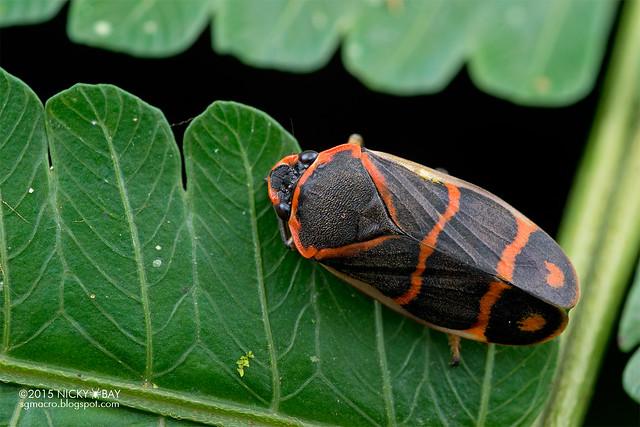 Froghopper (Cercopidae) - DSC_3484
