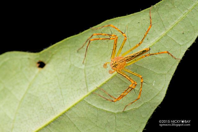 Lynx spider (Hamadruas sp.) - DSC_4511