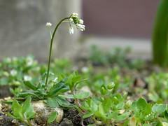 Kis növény
