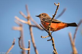 Churrinche / Vermilion Flycatcher (Pyrocephalus rubinus)