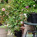 Propagating Roses 6 by Hedgerow Rose