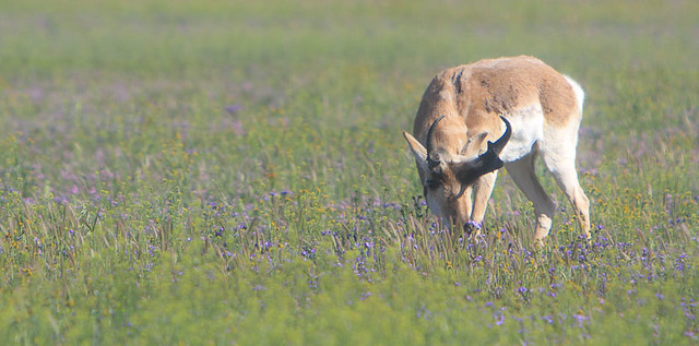 Mr. Pronghorn(Antilocapra americana) on the Carrisa Plains