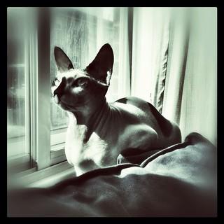 Miss Élektra savait garder la tête haute en toutes circonstances #montreal #monochrome #cat #sphynx #nude #pictureoftheday #instagramers